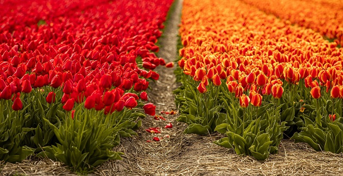 Скромное обаяние тюльпана